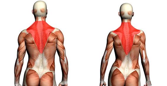 Anatomie trapèzes